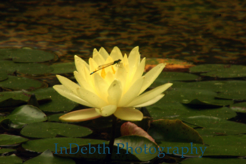 1305 - Water Lily Flower - dragonfly