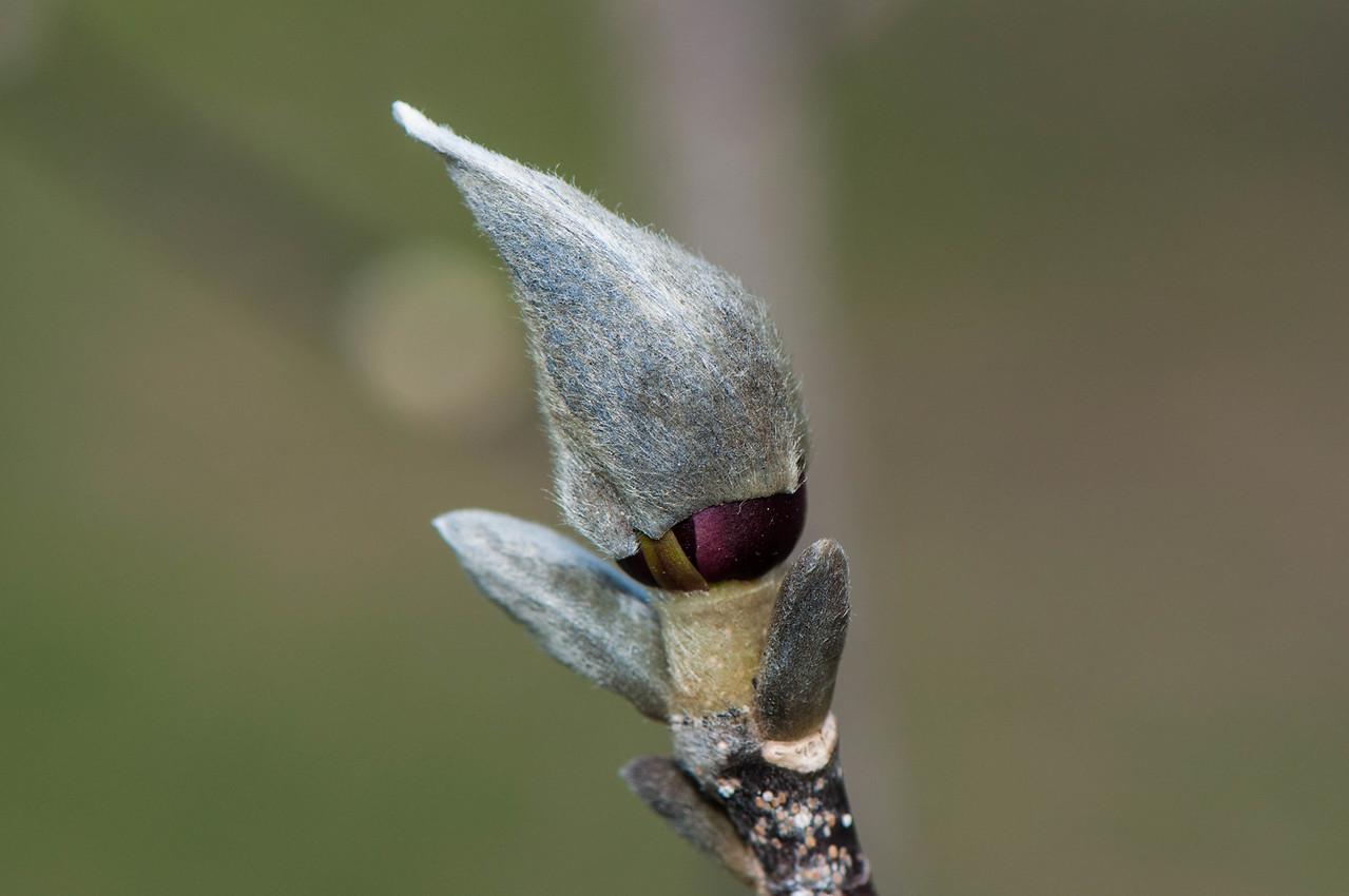 Magnolia Ready To Burst