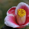 Camellia japonica 'Tama-No-Ura'<br /> Royal Botanic Gardens, NSW, Australia.<br /> Family Theaceae.