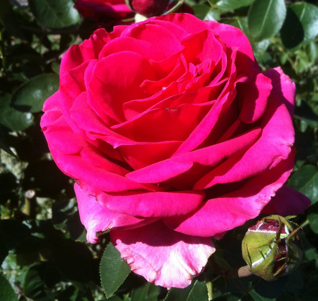 "Another day of sun in Oregon for this happy rose. <br /> Taken with an Iphone! <br /> ""happy rose"""
