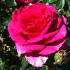 """Another day of sun in Oregon for this happy rose. <br /> Taken with an Iphone! <br /> """"happy rose"""""""