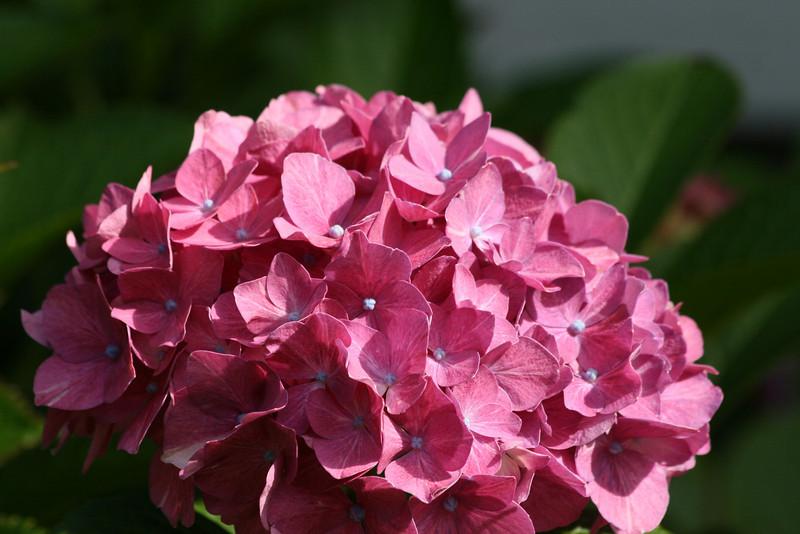 Pink Hydrangea in the same garden.<br /> End of summer for the garden