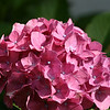 Pink Hydrangea in the same garden.<br /> End of summer for the garden