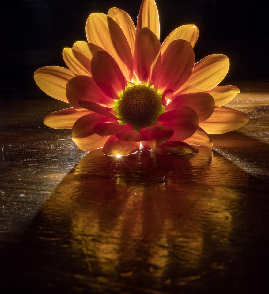 chrysanthemum (1)