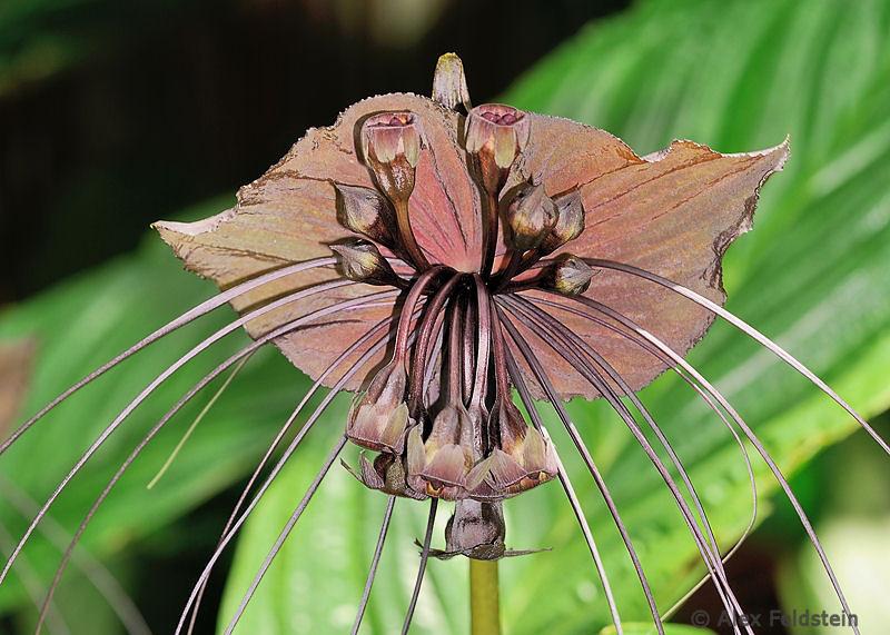 Bat Flower (Tacca Chantrieri)<br /> Native to China and Malaysia