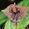 Bat Flower (Tacca Chantrieri)<br /> Native to China and Malaysia