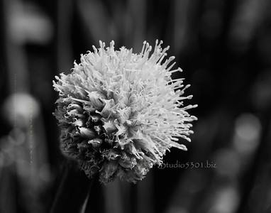 round ball flower white 0139cfB&W TonC