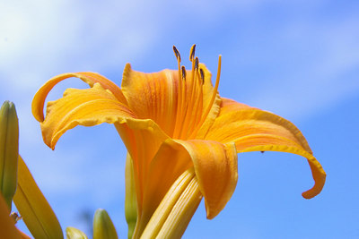 This is an Orange Tiger Lilly.  It is a very common summer plant in Schuylkill County, Pennsylvania.