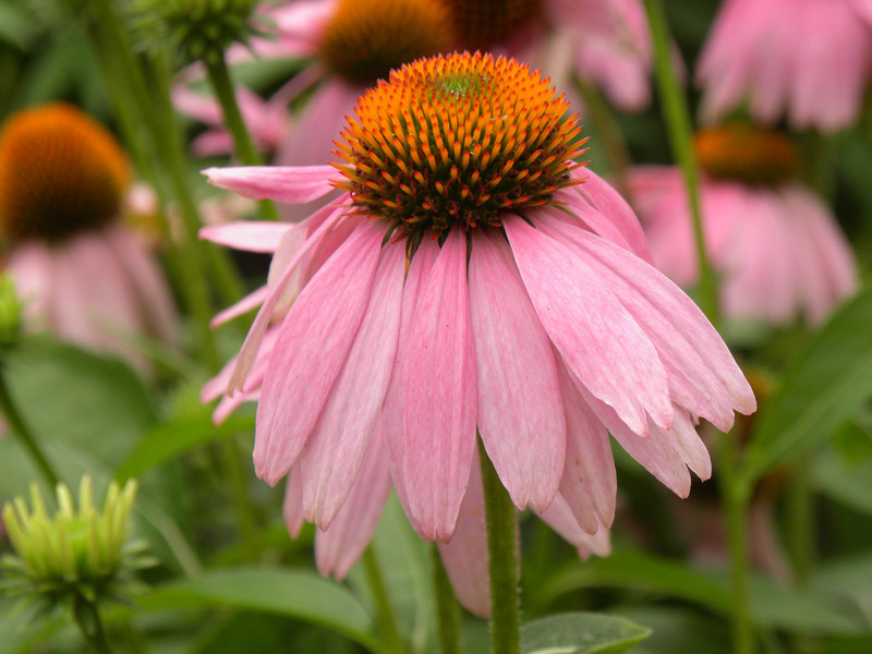 Echinacea - Kims Knee High- genus of herbaceous flowering plants in the daisy family, Asteraceae. The nine species it contains are commonly called purple coneflowers.