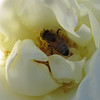 A closeup of a honey bee at rest in the folds of a satiny rose.