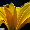Day lily with sunlight - 132