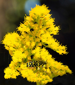 Black_Yellow insect_ yellow Flowers  1203