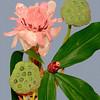 Pink Torch Ginger. Lotus Pods.
