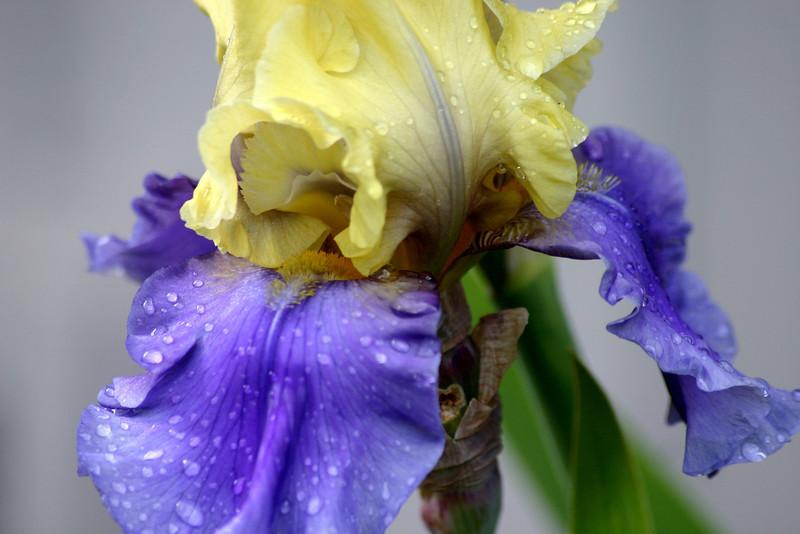 Edith Walford Iris