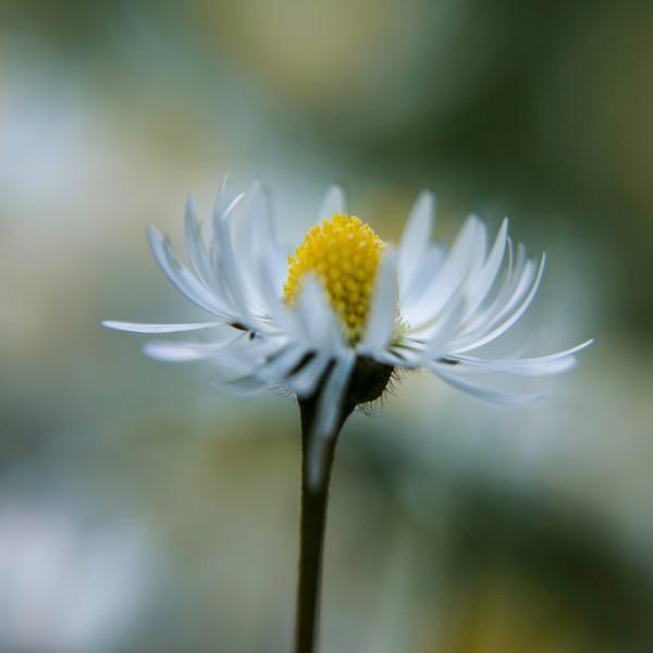 """<font color=""""#e9efb7"""">Garden Daisy"""