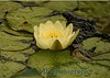4593 - Water Lily Flower