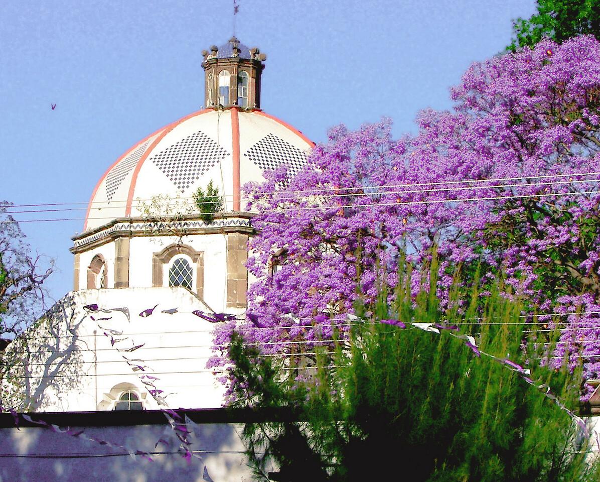 A Jacaranda tree in bloom