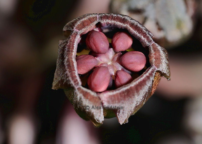 Tiny buds of the Bat Flower (Tacca Chantrieri)<br /> Native to China and Malaysia