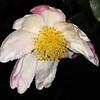 Camellia sasanqua '5033'<br /> Eryldene Historic House and Garden. Sydney Australia.