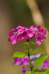Hydrangea or Hortensia flowers.