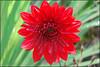 red flower eye 278