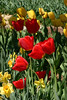1565 - Tulips