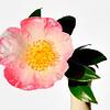 Camellia sasanqua<br /> CombineZM - 23 image stack @ f/6.3<br /> Nikon 105mm VR<br /> 12 April 2009