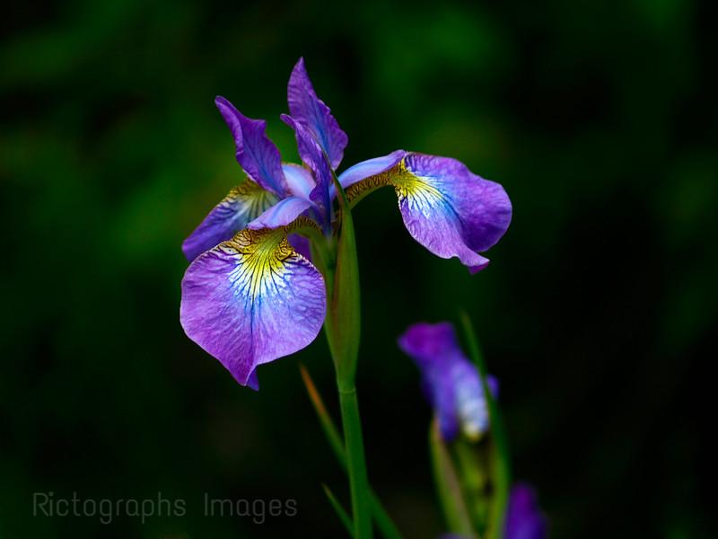 Iris, Fluer de Lis