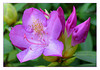 Rhododendron (43421972)