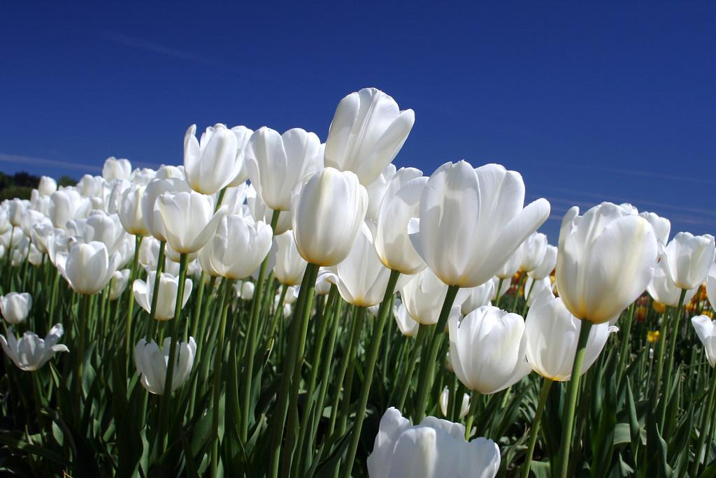 mountain of white tulipsLarge