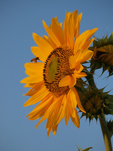 Original shot of sunflower with bee, SOOC.
