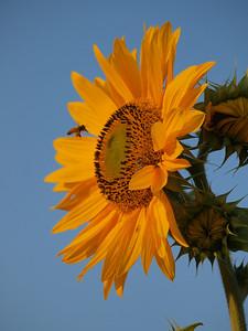 Original shot of sunflower with bee, SOOC.