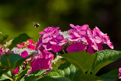 Bumblebee hovers above Hydrangea or Hortensia flowers.