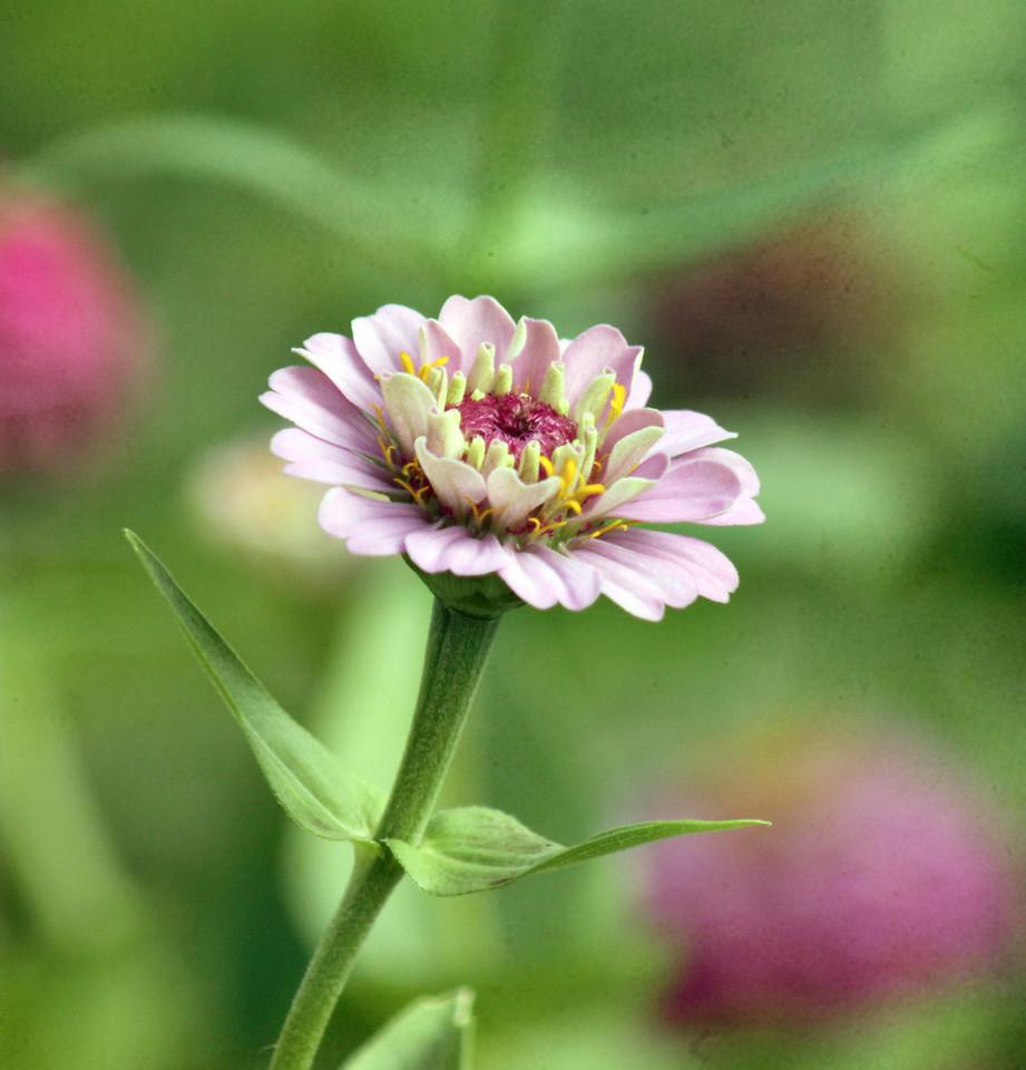 pink zinnia Flor and faunda7 10 046