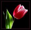 Red Tulip (55294380)