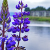 Purple flowers on the Columbia - 123
