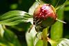 Peonie-Wasp_Web_2935