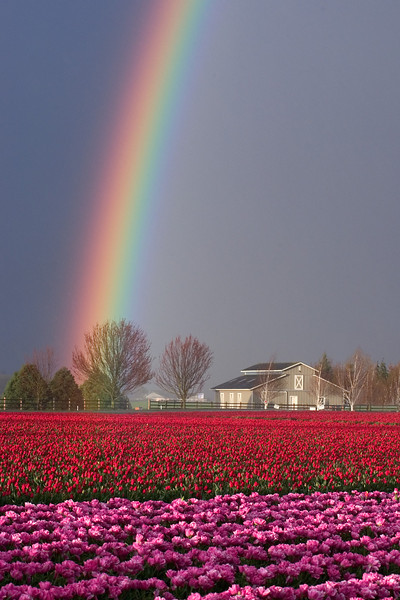 Rainbow over tulips in northwest Washington