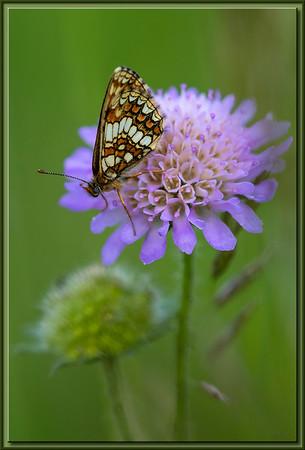 Schmetterling auf Wildblume