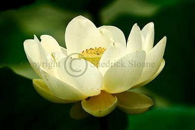065838 American Lotus