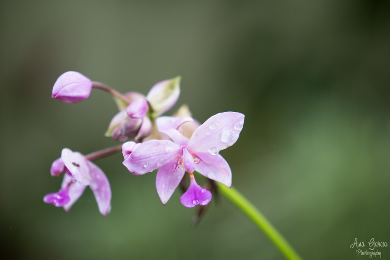 Mini Pink Orchid