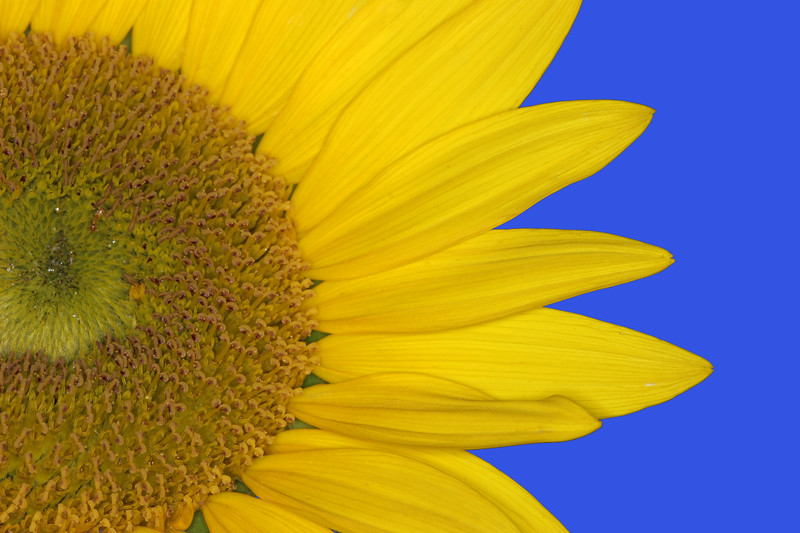 Sunflower hi-res Macro, Blue Background