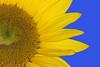Sunflower hi-res Macro, Blue Background