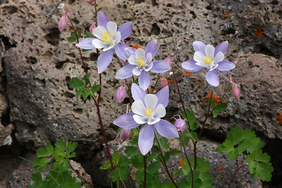 Wild Colorado Columbine - State Flower