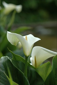 Calla Lilies - VanDusen Gardens