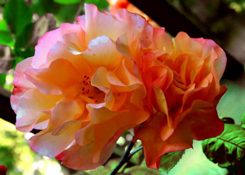 Rose4_Web_3318