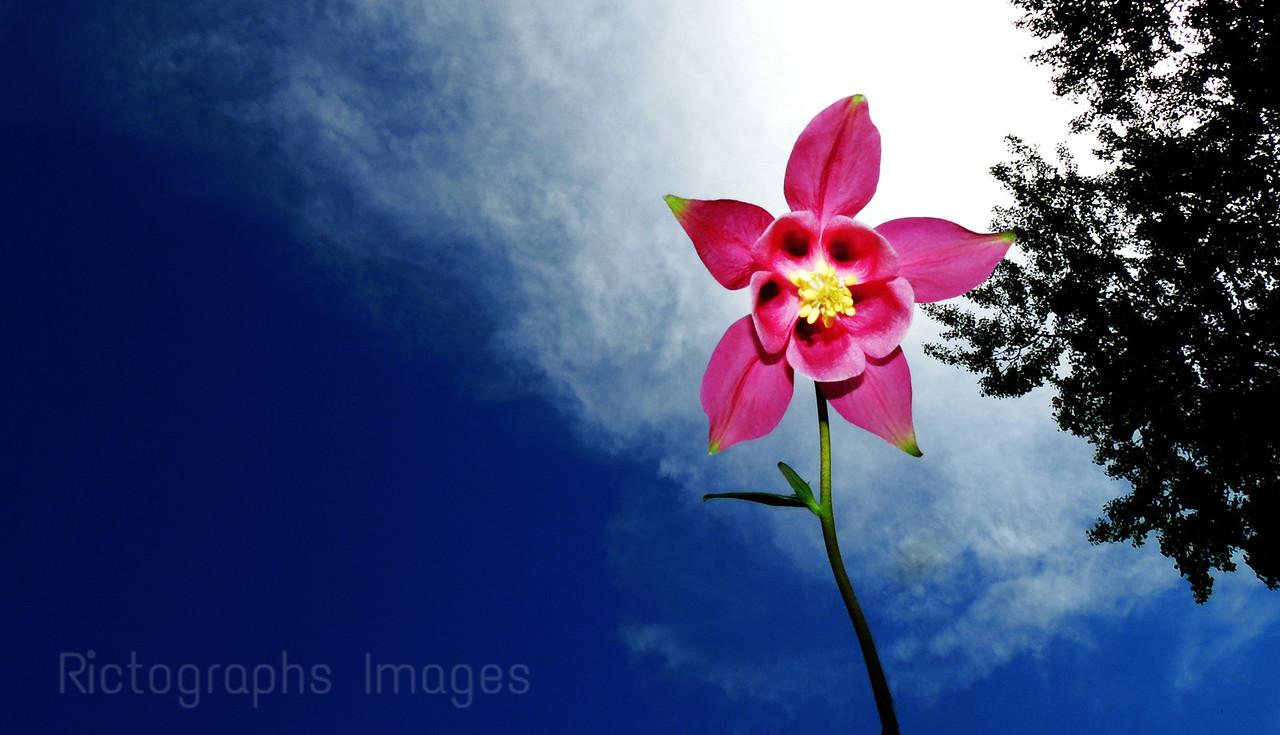 A Pink Columbine Flower