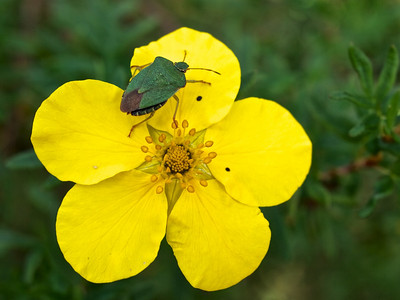 Sheild beetle and yellow flower