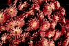 CRay-Flowers-0057