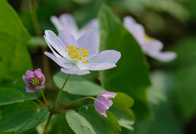Rue Anemone at Wildcat Den State Park.